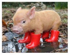 micro-mini piglet