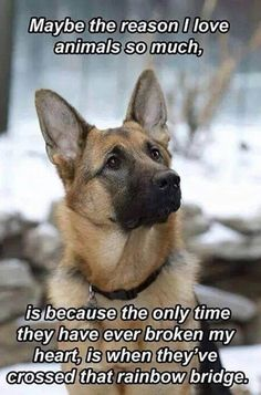 23 Photos and Memes that Perfectly Illustrate How German Shepherds Act Behind…