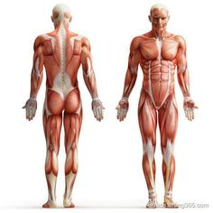 Muscular Skeleton Muscular Skeleton muscular and skeletal systems. the skeletal/muscular systems courtney jaeger on prezi. muscular skeleton muscular system muscles of the h Human Muscle Anatomy, Human Anatomy, Human Body Muscles, Major Muscles, Human Reference, Anatomy Reference, Art Reference, Anatomy Drawing, Anatomy Art