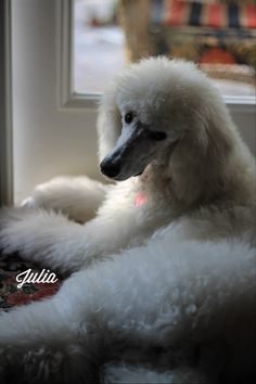 Julia. A beautiful poodle