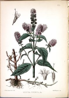 Mentha Piperita (Peppermint). Medicinal Plants (1880). Image and text courtesy USDA National Agricultural Library Special Collections
