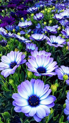 BEAUTIFUL PURPLE AND WHITE FLOWERS <3