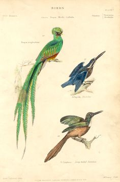 TROGON,KINGFISHER,JACAMAR,Antique Ornithology Print - Antique Prints and Antique Maps from Vintage-Views.com