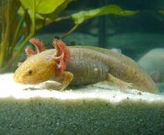 Axolotl  | Go Back > Gallery For > Copper Axolotl