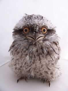 The tawny frogmouth owl (Podargus strigoides) is found throughout Australia, including Tasmania. The nocturnal bird is known to have a soft, deep call that sounds like ;ooom, ooom, ooom.""