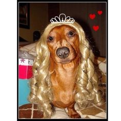 sweet Princessa! (via Gustav's Dachshund World & Friends)