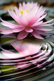 a beautiful lotus | Flowers | Flowers photography | Flowers arrangements | Flowers garden | Flowers beautiful | Flowers and gardening | Beautiful flower | #flower #photography #nature #beauty #beautifulnature #beautifulflowers #flowers #flowerpower