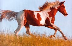 Running Paint - Paint Horses, Horses, Beautiful Horses, Galloping horses