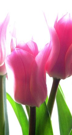 Pink lily flowering tulips breathe spring.