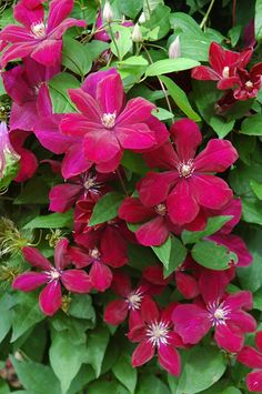 Clematis Rouge Cardinal. 2-2.5m, suitable for a pot, sun to part shade. Group 3, flowers June to September.