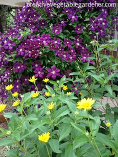 The purple of clematis contrasts well with the yellow of Oxeye Sunflower, below.