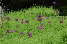 Allium plants (http://landscaping.about.com/od/floweringbulbs/p/Allium-schubertii.htm) look great, especially against a backdrop of ferns (http://landscaping.about.com/od/wildflowers/ss/Interrupted-Ferns-Tall-Native-Plants-for-Shade-Gardens.htm). But did you know that your cat can become deathly ill ingesting Allium plant parts?