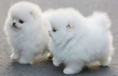 Two white, small and extremely fluffy puppies