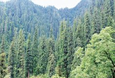 Himachals silver fir and spruce trees on their way back