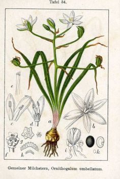 Star of Bethlehem; before blooming the leaves and bulb resemble wild onion.  Some report that the bulbs are edible when cooked.