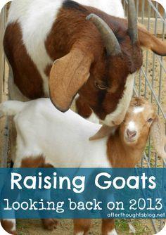 Raising Goats: Looking Back on 2013 -- backyard goat keeping