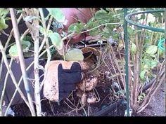 http://www.meganmedicalpt.com/ Harvesting Fresh Jicama Root aka Yam Bean out of a Desert Vegetable Garden
