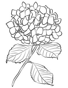 Printable Flower Coloring Pages, Easy Coloring Pages, Coloring Books, Colouring, Free Coloring, Hydrangea Tattoo, Outline Drawings, Flower Drawings, Drawing Flowers
