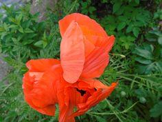 Korn, Flowers, Plants, Flora, Plant, Royal Icing Flowers, Flower, Florals, Bloemen