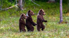 4 months old bear cubs in Finland at June 2014 - Arsi Ikonen Cute Funny Animals, Cute Baby Animals, Animals And Pets, Forest Creatures, Woodland Creatures, Funny Looking Cats, Animal Captions, Bear Cubs, Belleza Natural