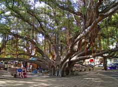 The massive banyon tree that takes up a city block in Lahaina, Maui, Hawaii.  www.hawaiiweb.com/maui/html/sites/banyan_tree.html This Banyan Tree was first planted in April, 1873, and marked the 50th Anniversary of Christian missionary work in Lahaina. The tree was imported from India was only 8 feet tall. It now stands over 60 feet high, has 12 major trunks in addition to a huge core. It stretches over a 200-foot area and shades 2/3 of an acre.
