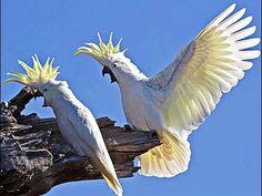 Попугай какаду сердиться