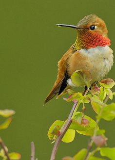 Male Rufous Hummingbird Greeting Card by Tom and Pat Leeson