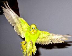 Kuşlarda Kusma Belirtileri