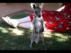 Baby Joey kangaroo....just look at this little BAMBIno...and the dancing ears ... :) Ladys surely have a lucky company !