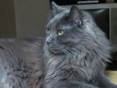 Nebelung Cats | Nebelung Cat Breed Info & Pictures | petMD  Looks just like Rhea...