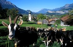 Picture of some goats in Heidiland. Urban Exploration, My Heritage, Make You Smile, Switzerland, Wander, Paths, Photo Galleries, Italy, Explore