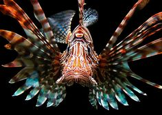 poisonous lionfish