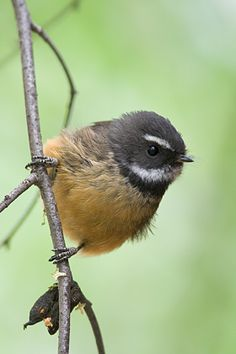 Fantail - a small insectivorous birds of Australasia, Southeast Asia and the Indian subcontinent. Pretty Birds, Beautiful Birds, Animals Beautiful, Cute Animals, Kinds Of Birds, Birds 2, Love Birds, Brown Bird, Australian Birds