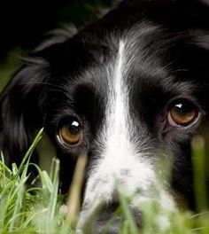 Border Collie...those eyes!