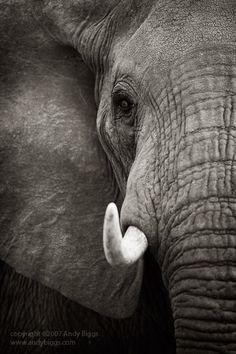 Elephant Tusks, Tarangire National Park, Tanzania