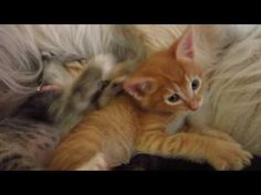 猫, ねこ, 子猫, こねこ, neko, koneko, cute, foster kittens, adorable, fuzzy, gatos, gatitos, humane society, small, tiny
