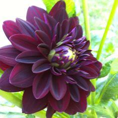 Dahlia flower var. Arabian Nights