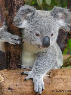 Baby koala bear, This is 4 my friend Tammy!