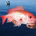 Red Snapper ...