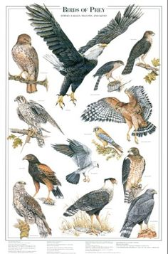 Birds of Prey: I Identification chart