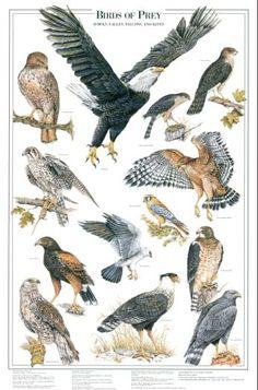 Birds of Prey: I Identification chart