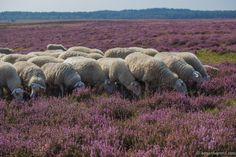 De heide op z'n mooist!  Haal nu de sfeer in huis met bijvoorbeeld een wollen karpet in deze warme paarse kleur.