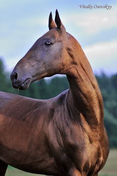 Most beautiful horse EVER. Akhal-Teke - Page 8 - The Horse Forum Appaloosa, Akhal Teke Horses, Dressage Horses, Most Beautiful Horses, Pretty Horses, Horse Love, Horse Photos, Horse Pictures, Zebras