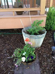 Raspberry bush & annuals