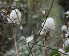 teasel seed heads in snow, Dipsacus sylvestris, Dipsacus fullonum, british native species, architectural plant