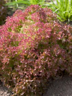 Tips for Growing Lettuce