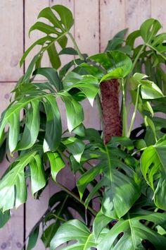 Das Fensterblatt oder auch Monstera deliciosa