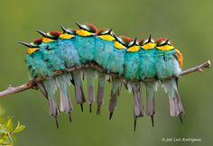 Abejaruco euroepo -Merops-apiaster-Grupo-migratorio-(Ávila)   © Jose Luís Rodríguez