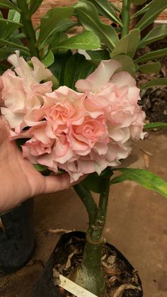 A beautiful double flowering desert rose. Dessert Rose Plant, Cactus, Bonsai Garden, Desert Rose, Cool Plants, Cacti And Succulents, My Flower, Garden Beds, Hibiscus