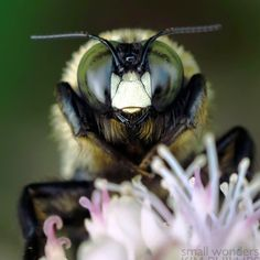 Eastern Carpenter Bee - beneficial pollinator - on http://network-green.org